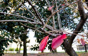僅かに残る赤い葉っぱ
