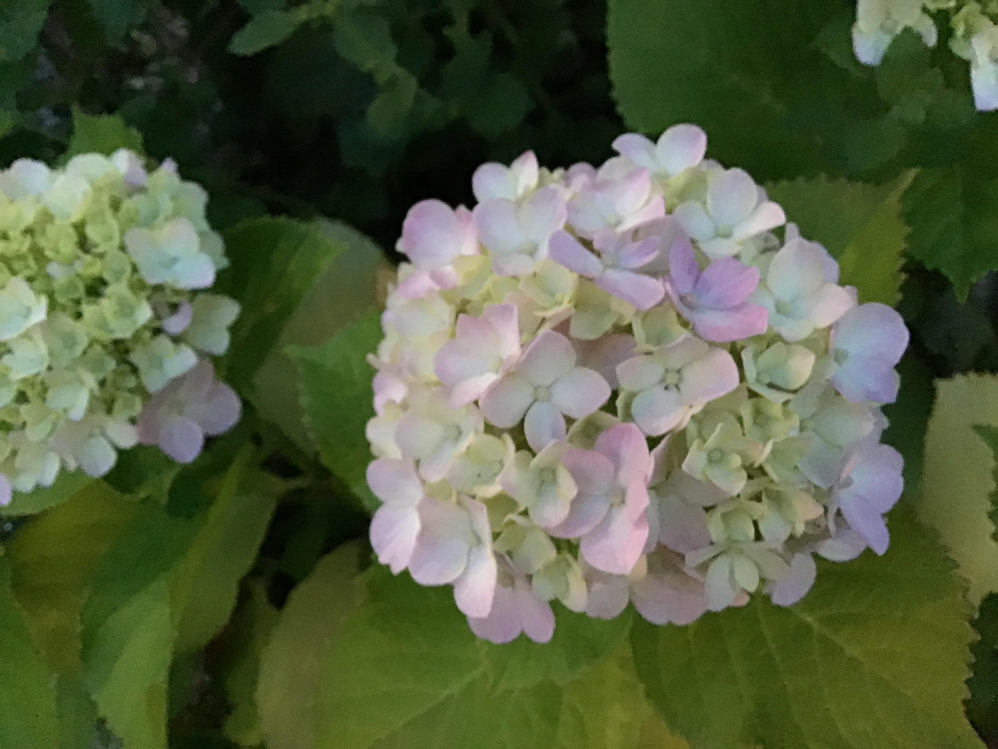 薄い色の紫陽花